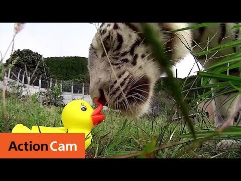 Action Ducks on RC Cars Meet Animals | Action Cam | Sony