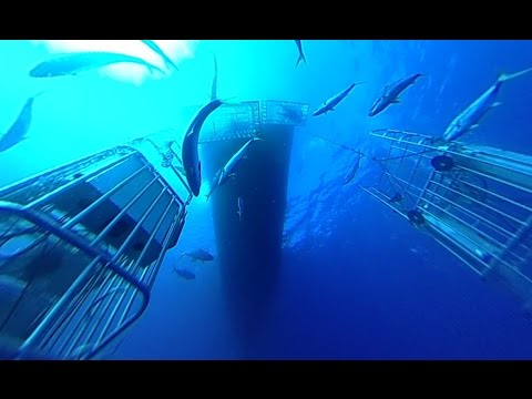 360fly: Diving with the Great White Sharks of Guadalupe Island