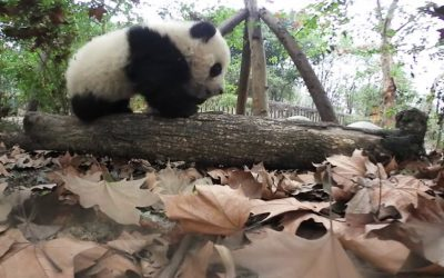 Nikon KeyMission 360: Saving Pandas with Ami with the KeyMission 360 Action Camera