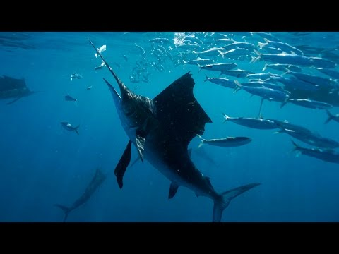 Sailfish Hunting in Isla Mujeres, Mexico – 4K | Action Cam | Sony