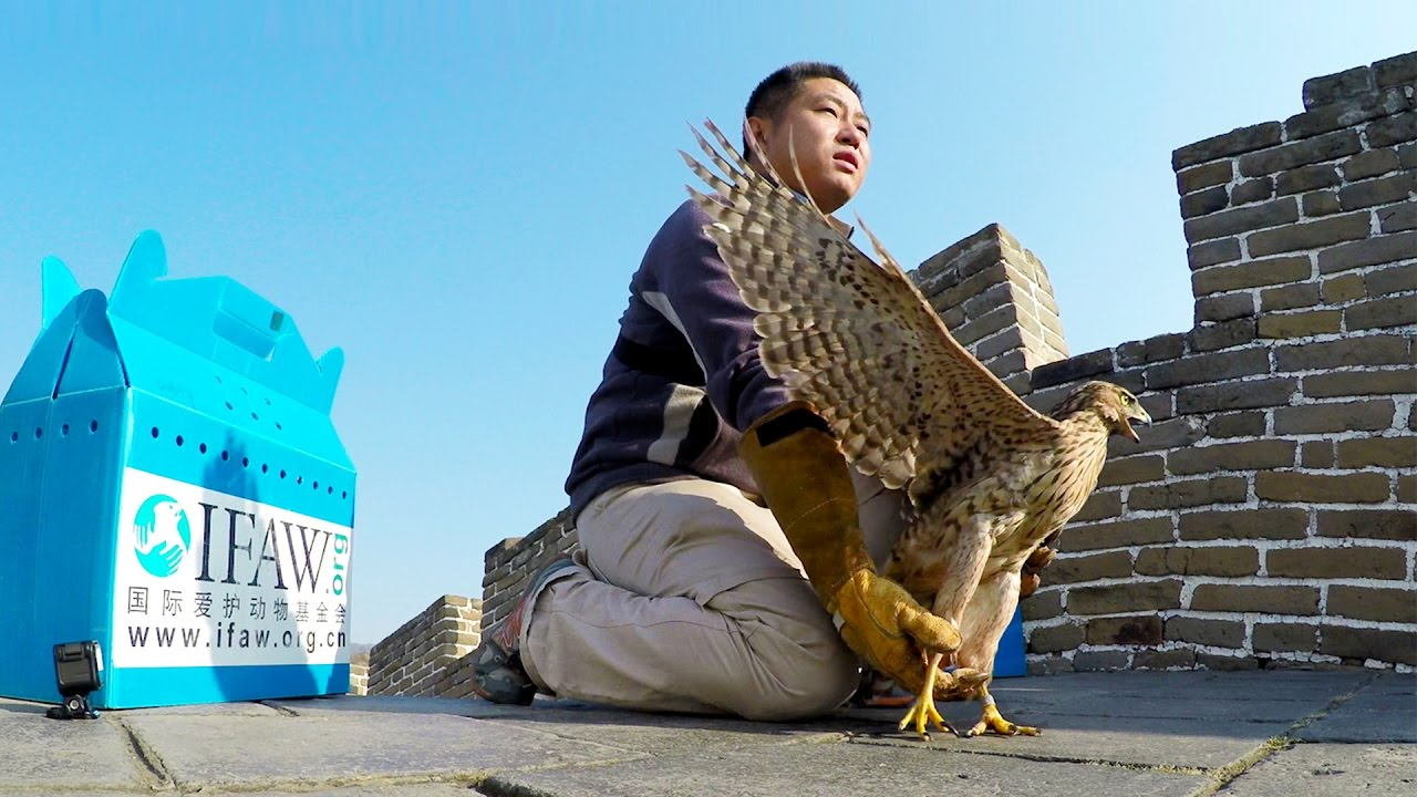 GoPro Cause: IFAW – Releasing Raptors Off The Great Wall of China