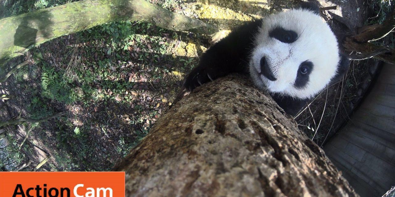 Action Cam | Baby Panda Climbs a Freakin Tall Tree | Panda Cam No.6 | パンダ | Sony