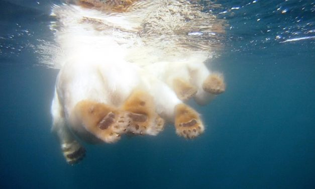 GoPro: Polar Bears – The Quest for Sea Ice