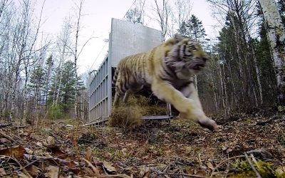 GoPro: Siberian Tiger Release – A Rare Sight