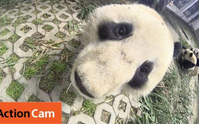 Action Cam | Scaring the Camera Guy | Panda Cam No.5 | パンダ | Sony