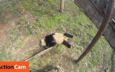 Action Cam | A Bad Wake Up Call | Panda Cam No.10 | パンダ | Sony